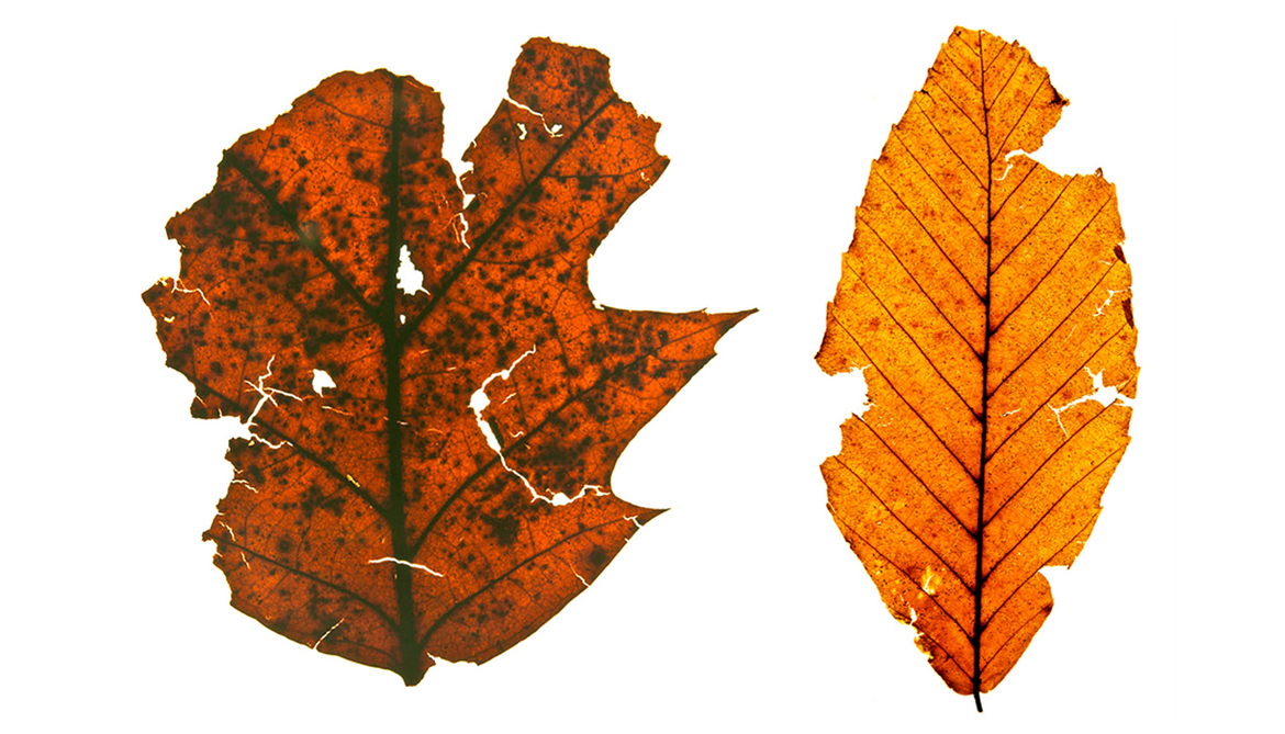 Fossil leaves reveal pre-colonial forests