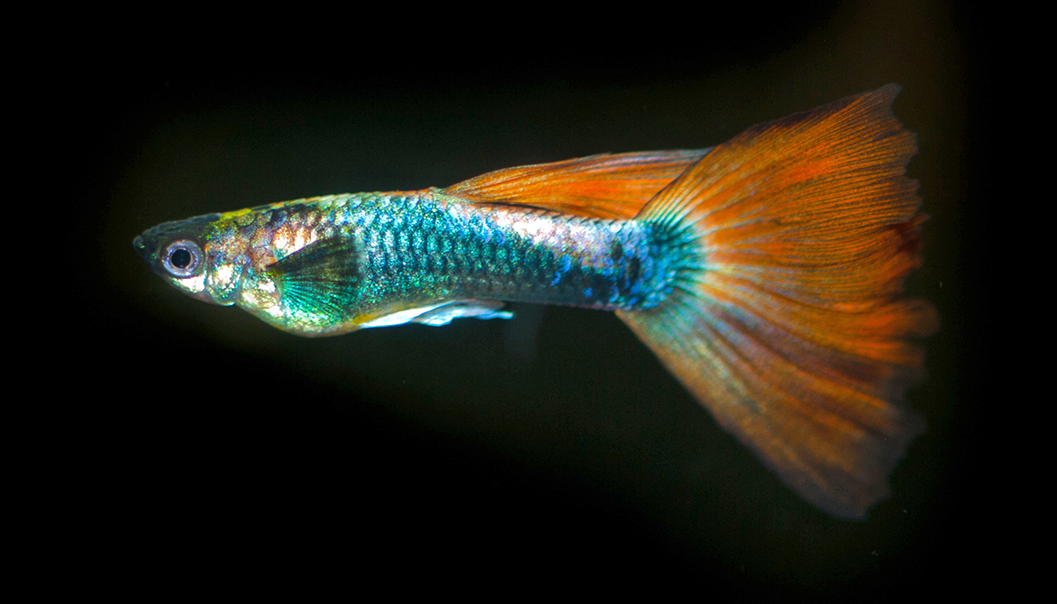 Female guppies fall for rare, colorful males