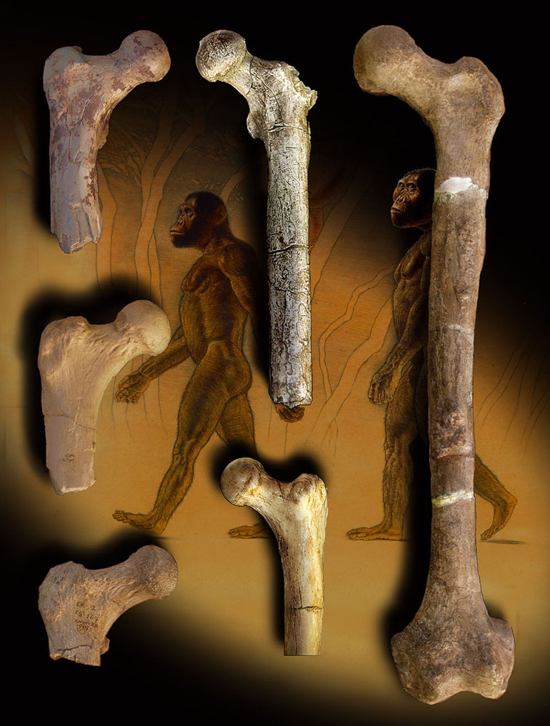 Orrorin (at left) and other fossil hominins. (Credit: John Gurche, courtesy of Brian Richmond)