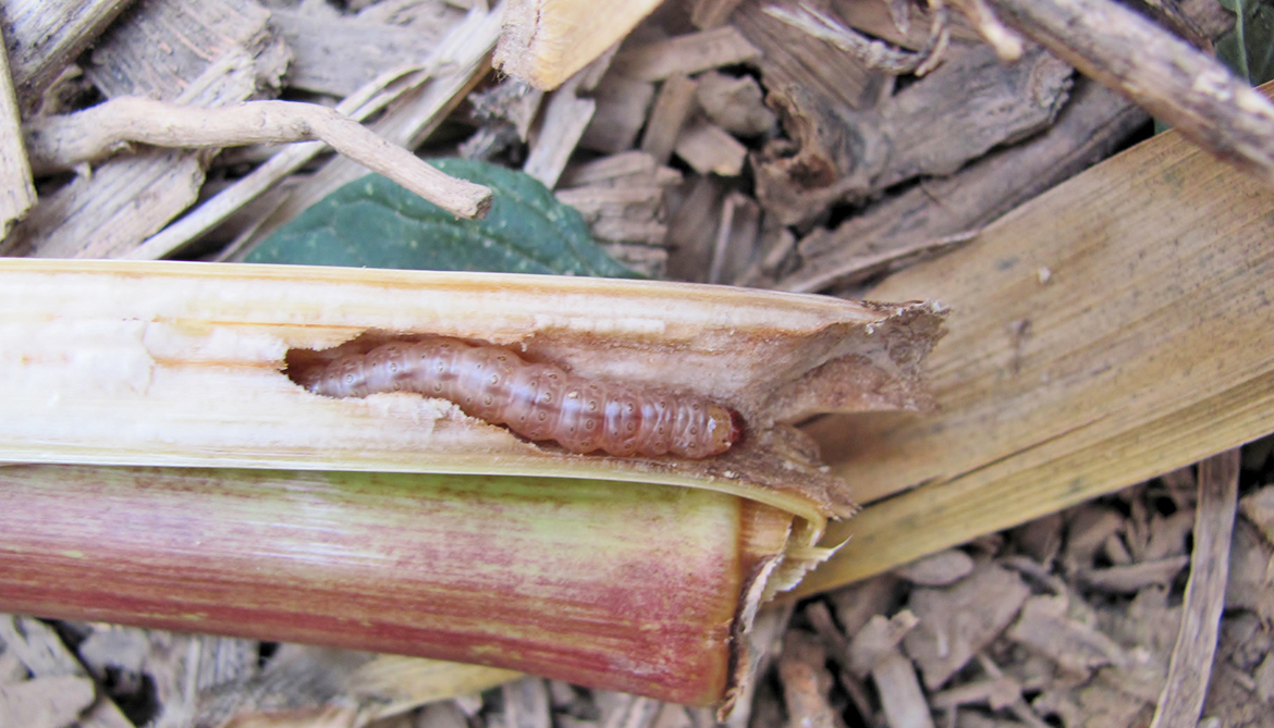 Hybrid corn releases toxin that kills hungry worms