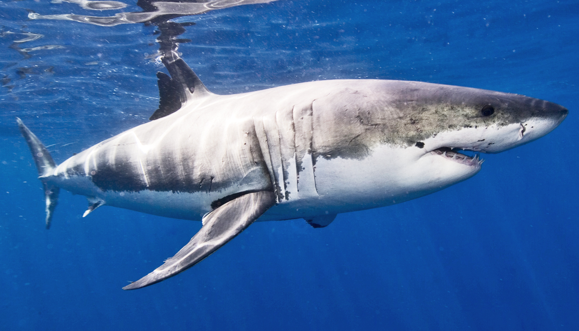 Sharks are more like us than you think