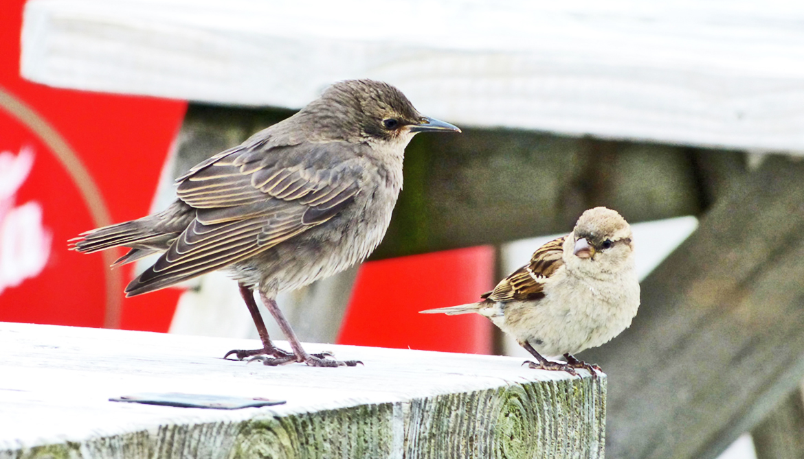 Why some birds are babysitters instead of parents
