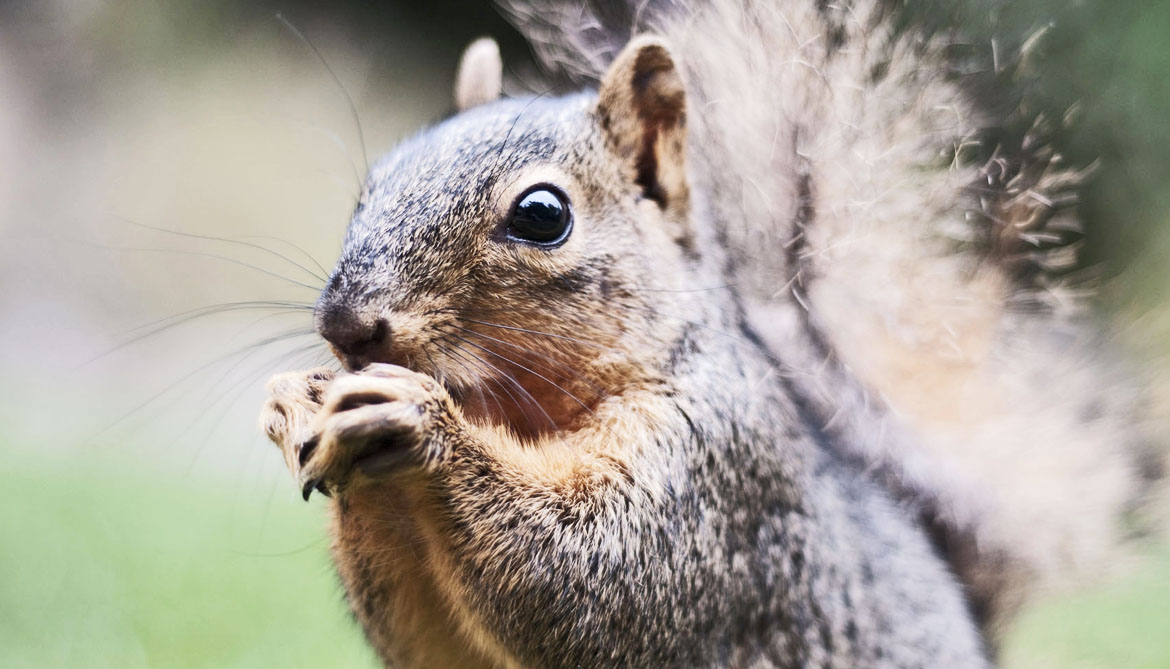 People put squirrels in cities on purpose