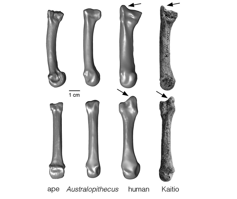 The styloid process is a projection of bone. Ward and her team found a styloid process at the end of a wrist bone more than 1.42 million years old, indicating this anatomical feature existed more than half a million years earlier than previously known. (Credit: University of Missouri)