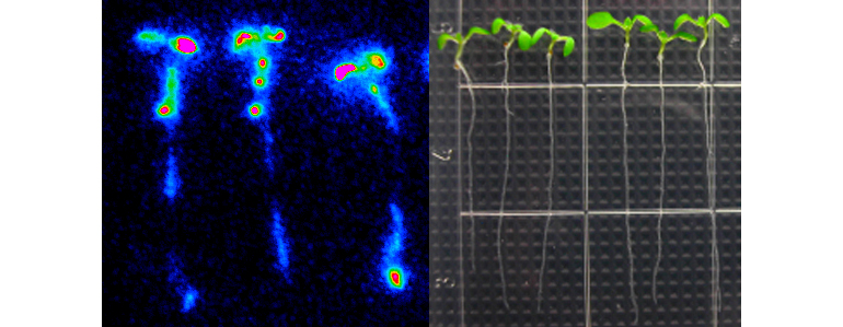 These Arabidopsis plants contain aequorin. Aequorin produces blue light as a result of oxidation of the substrate, in a calcium-dependent manner. When wild-type seedlings were treated with 500 uM of ATP, intracellular calcium concentration is rapidly elevated. Increased calcium were bound to aequorin, which leads to blue light emission. (Credit: Jeongmin Choi)