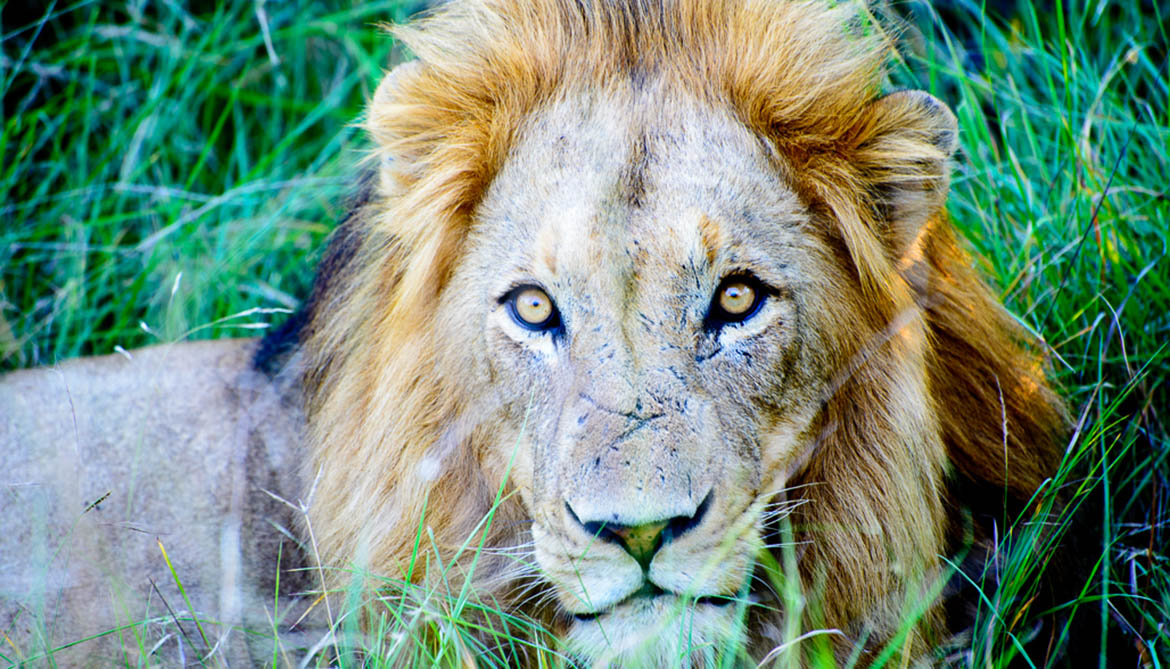 Only 250 lions are left in West Africa