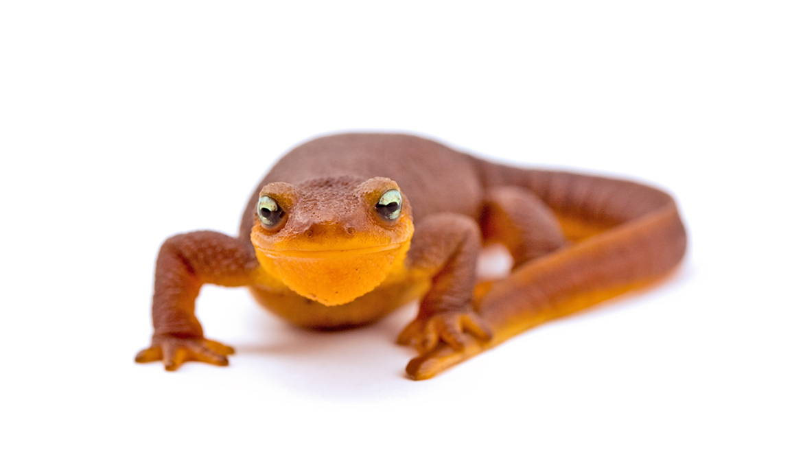 Chemists use newt toxin to 'see' pain in a living animal