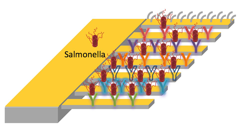 Different strains of salmonella are captured by microcantilevers decorated with peptides that have unique binding affinities to different strains of the pathogen. When a peptide catches a bacterium, the cantilever bends ever so slightly, due to a mismatch in surface stress on the top and bottom. A fine laser trained on the mechanism catches that motion and triggers the alarm. (Credit: Jinghui Wang/Rice University)