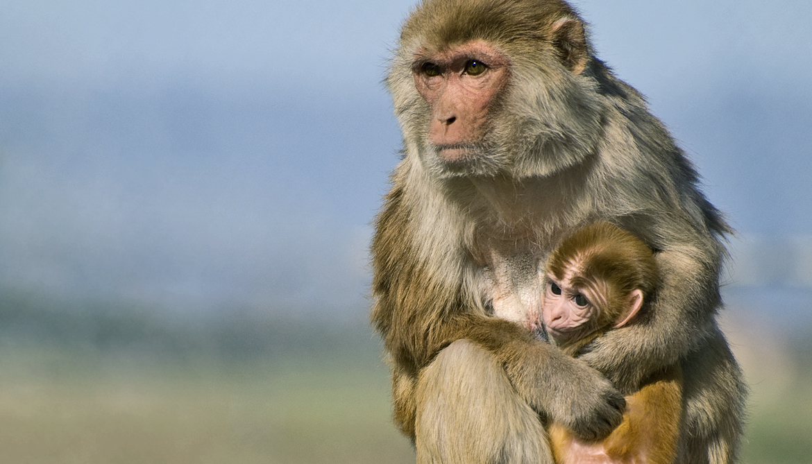 Scientists have genetically modified monkeys to study