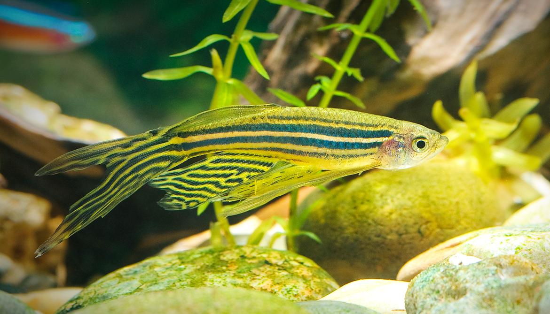 If zebrafish can regrow fins, can we regrow bones?