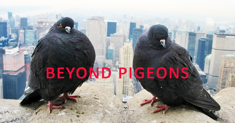 Rock pigeons, photographed in Manhattan, are one of only four bird species that are cosmopolitan, occurring in more than 80 percent of the cities in the global study. (Credit: Zak Peterson)