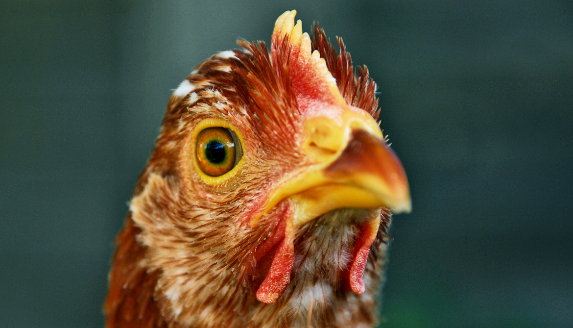 Chicken eyes may hold clues to new state of matter