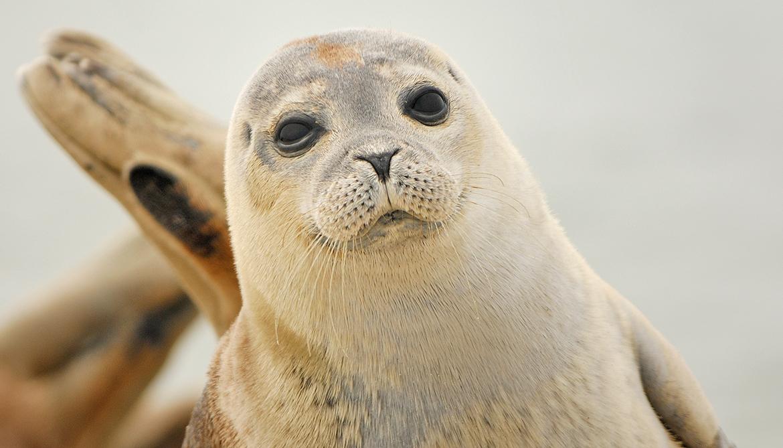 DNA from wild seals uncovers inbreeding problem