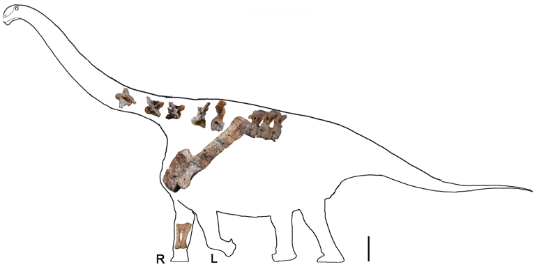 (Credit: Li L-G, et al. (2014) A New Titanosaurian Sauropod from the Hekou Group (Lower Cretaceous) of the Lanzhou-Minhe Basin, Gansu Province, China. PLoS ONE 9(1): e85979. doi:10.1371/journal.pone.0085979)