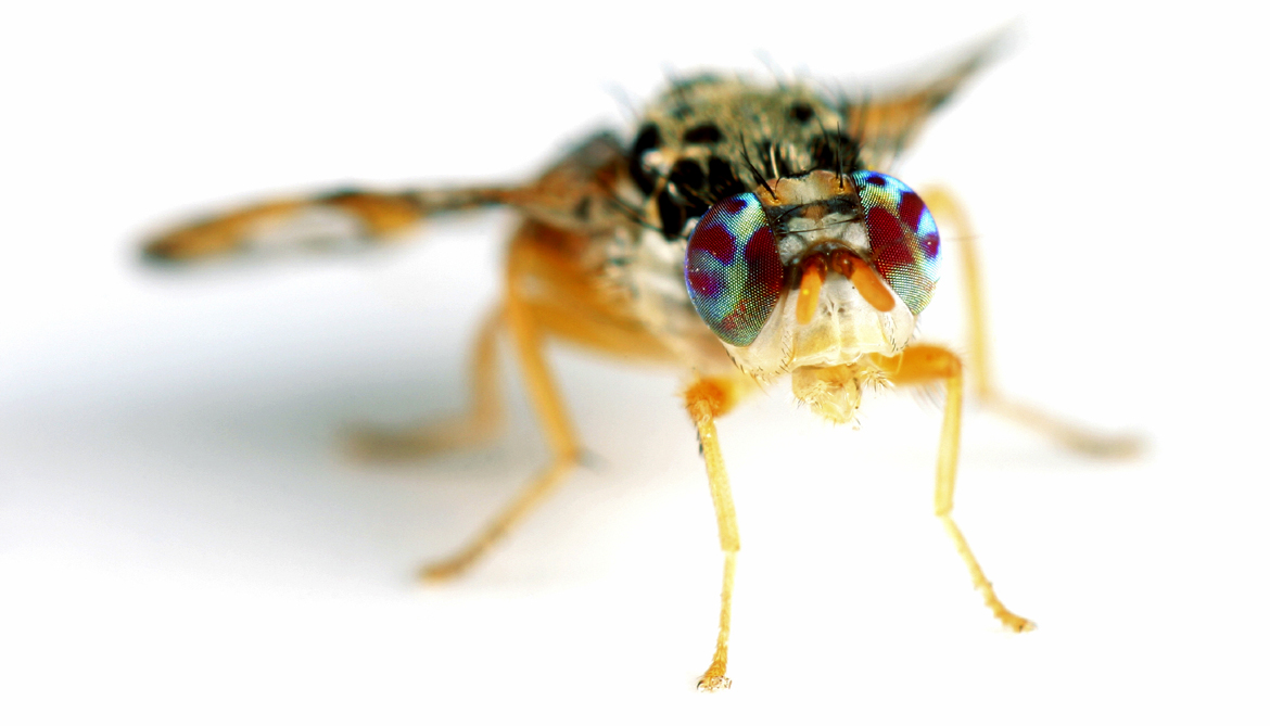 How 'sexier' sterile males can reduce invasive flies