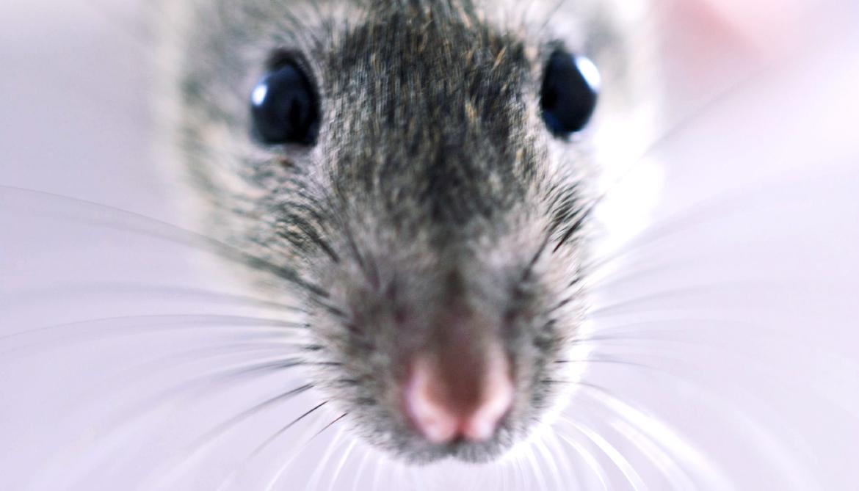 Putting mazes on the floor improves rat race