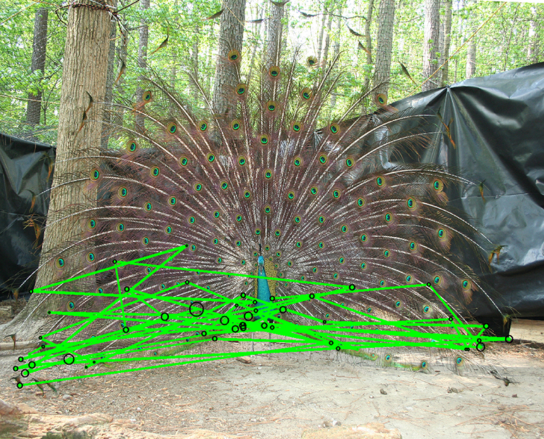 This image shows the tracks of a peahen's gaze as a peacock makes a courtship display.  (Credit: Jessica Yorzinski)