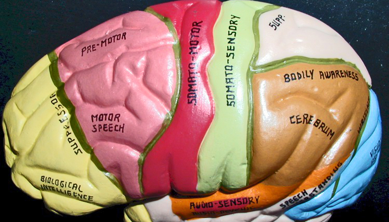 The architecture of your cerebral cortex is surprisingly logical