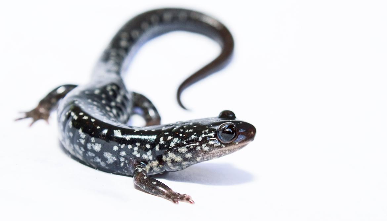 Salamanders shrink as Appalachia heats up