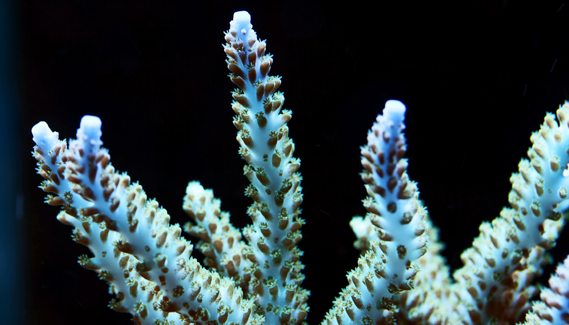 How a tiny coral-eating worm hides in plain sight