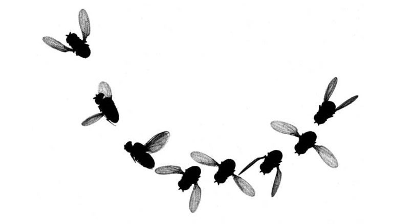 Time lapse images from a high speed video shows how a fruit fly startled by a looming shadow (off camera at the bottom right) performs a rapid roll to bank away from the threat. (Credit: U. Washington)
