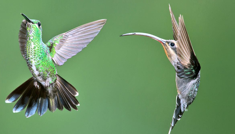 Hummingbirds invaded North America 12 million years ago