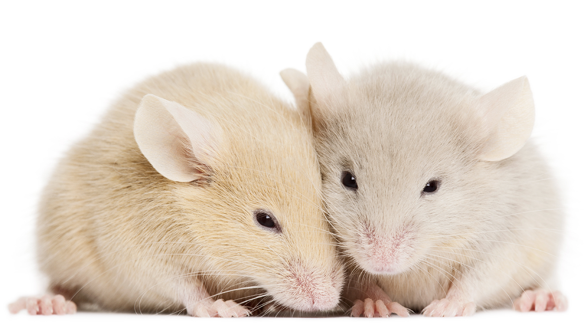 Male mice in pain want sex, but females don't