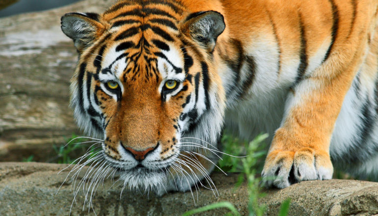 """""""Since genetic variability is the raw material for future evolution, our results suggest that without interbreeding subpopulations of tigers, the genetic future for tigers is not viable,"""" says Uma Ramakrishnan. (Credit: Shane Gorski/Flickr)"""