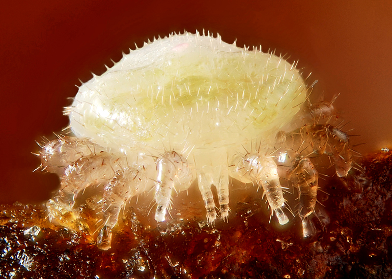 A nymph of Varroa destructor, a mite parasiting the domestic bee (Apis mellifica). (Credit: Gilles San Martin/Flickr)