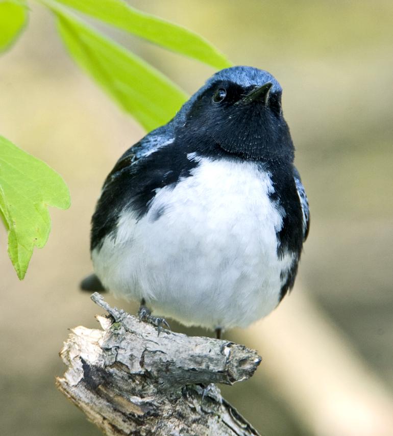 Black-throated blue warbler. (Credit: Laura Gooch/Flickr)
