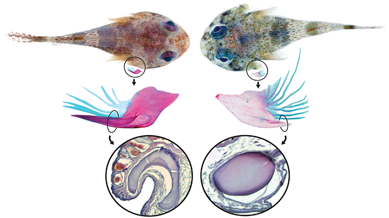 A venomous (right) and non-venomous (left) Caribbean clingfish showing the differences in the subopercular bone. View larger. (Credit: Texas A&M University/Courtesy Kevin Conway and Carole Baldwin, Smithsonian Institution)