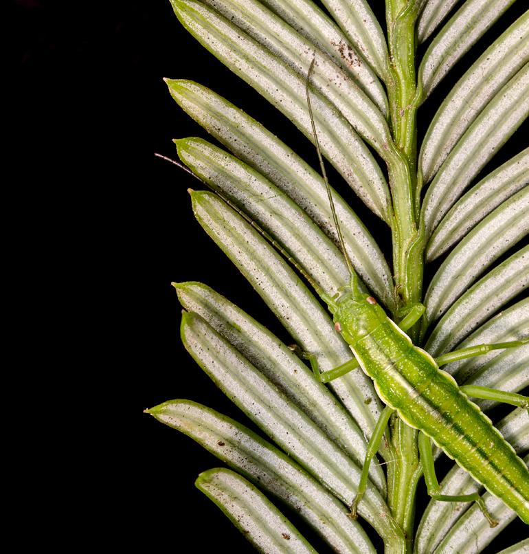 Juvenile female T. knulli on Redwood host plant. (Courtesy of Aaron C/Flickr)