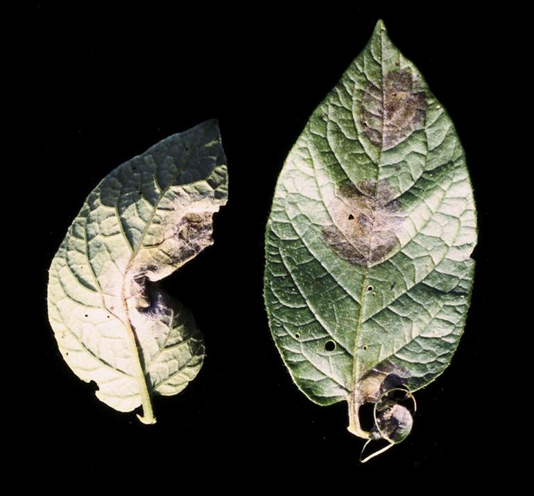 Phytophthora infestans on potato leaves. (Credit: Mary Ann Hansen via Blazer82/Wikimedia Commons