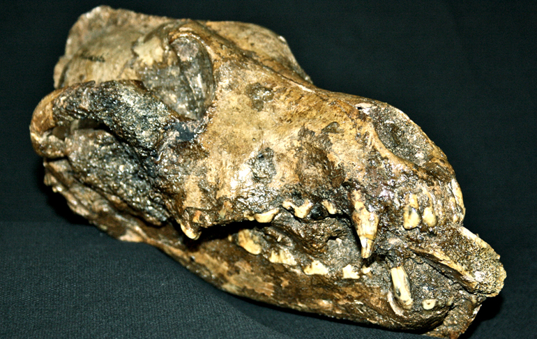 A fragment of a large bone, probably from a mammoth was placed in this dog's mouth shortly after death, says Pat Shipman. This finding suggests the animal was according special mortuary treatment, perhaps acknowledging its role in mammoth hunting. The fossil comes from the site of Predmosti, in the Czech republic, and is about 27,000 years B.P. old. This object is one of three canid skulls from Predmosti that were identified as dogs based on analysis of their morphology. (Credit: Anthropos Museum, Brno, the Czech Republic, courtesy of Mietje Germonpre)