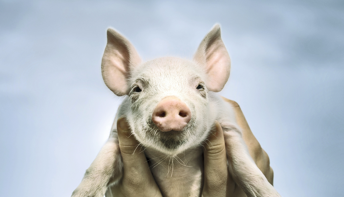 These pigs don't reject stem cell transplants