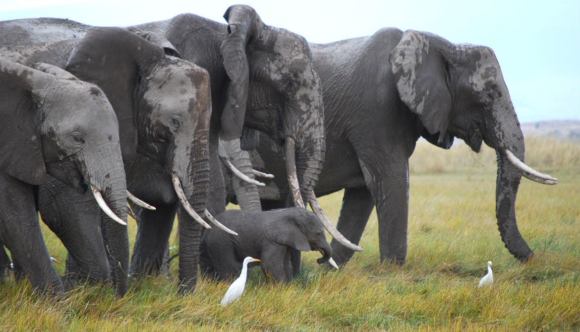 How body fat could help save elephants