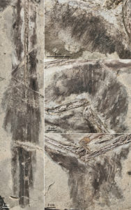 Details of the preserved feathers of Changyuraptor yangi.