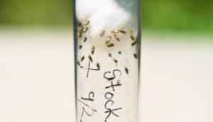 fruit flies in a tube