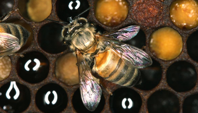 Why are Newfoundland's honey bees parasite free?