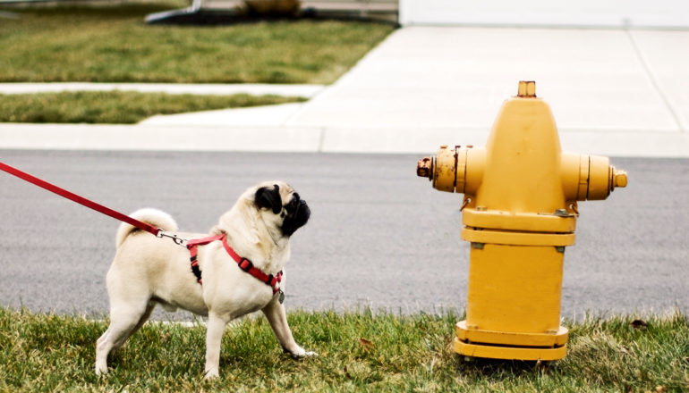 pug at a fire hydrant