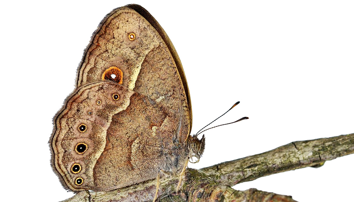 Scientists turned these brown butterflies violet