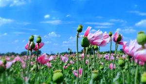 Papaver somniferum opium poppy field