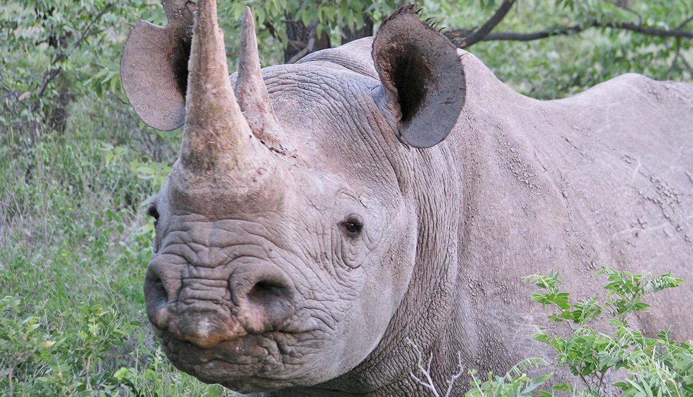 black rhino in Nambia