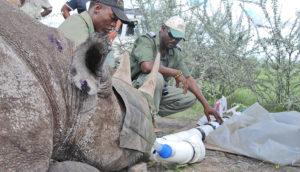 captured rhino