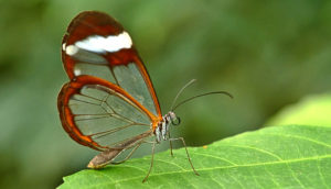 Glasswinged butterfly on leaf