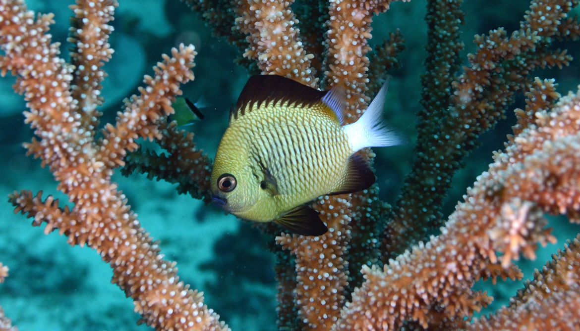 Sickly reefs smell bad to baby coral and fish
