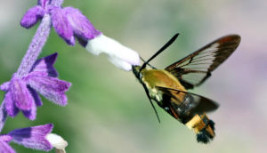 Hummingbird clearwing feeds from flower