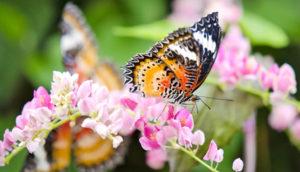 Leopard Lacewing butterfly on flower