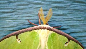 luna moth on blue