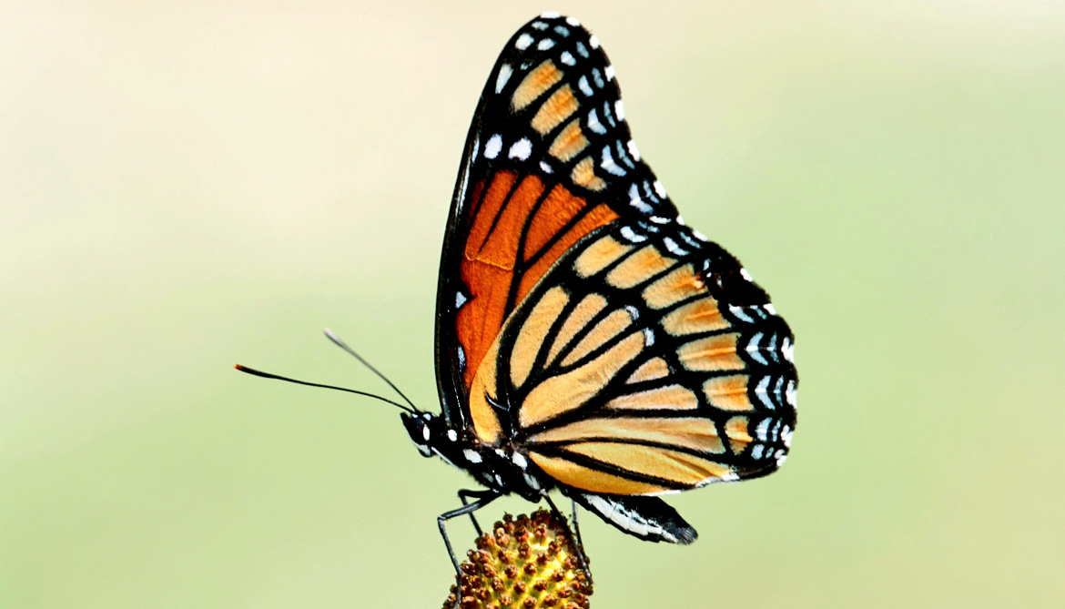 Butterfly 'tree' decodes evolution of 160,000 species